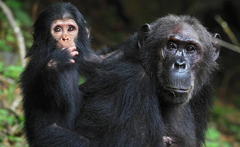 wild chimps.png