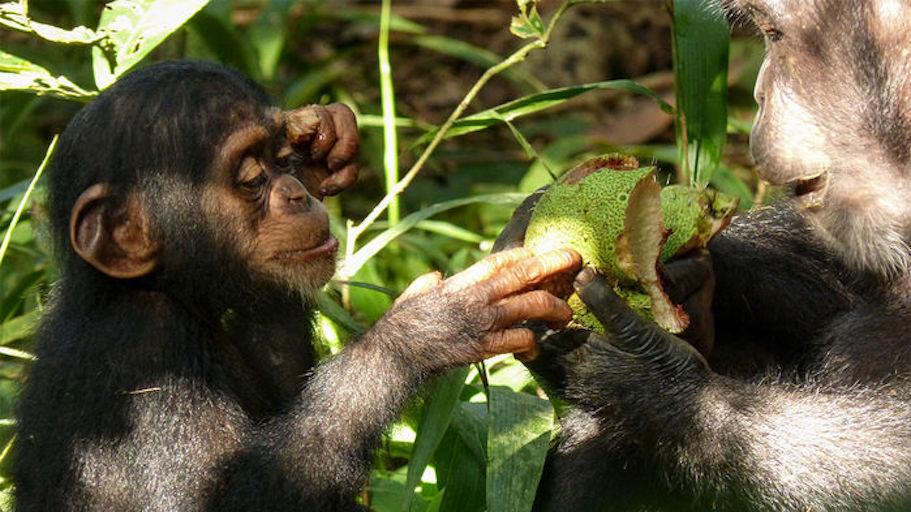 chimps wild.jpg