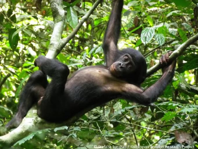 wild bonobo.png