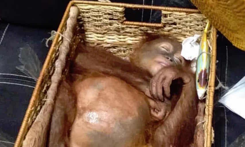 drugged wild orangutan.jpg