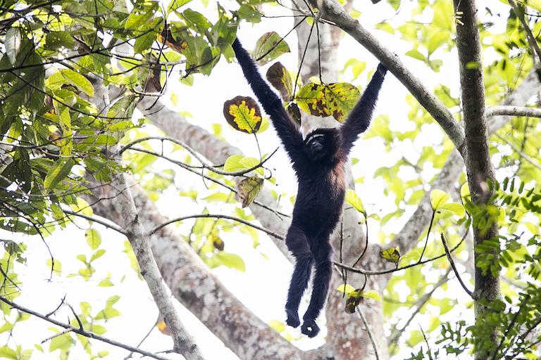 wild gibbon.jpg
