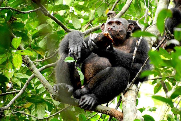 chimpanzees-eating-tortoises.1.jpg