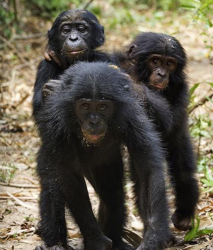 bonobo2 original.jpg