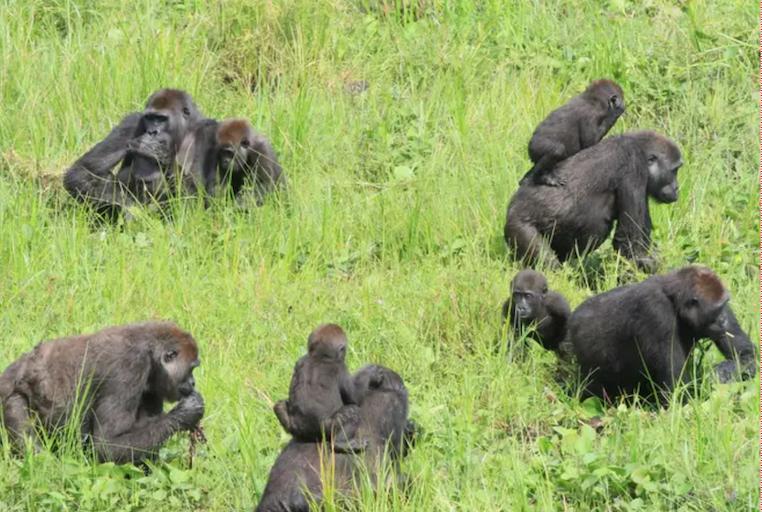 gorillas wild.png