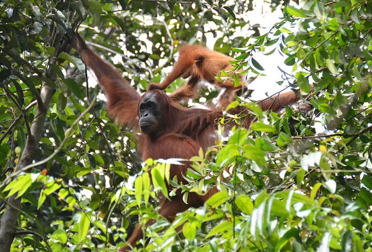 orangutan scratch.png