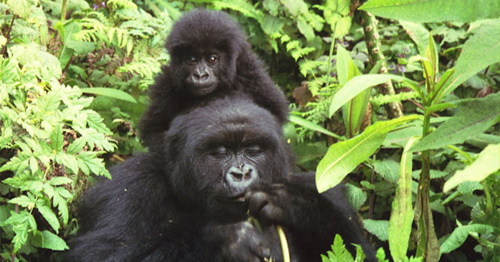 071519_mountain_gorillas.jpg