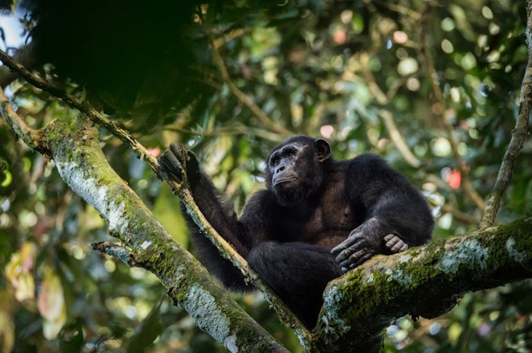 wild chimp.jpg