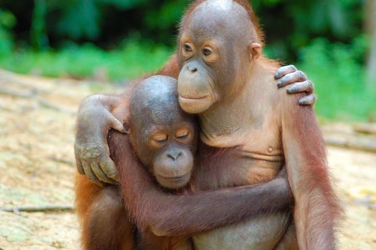 wild orangutans world ape fund.jpg