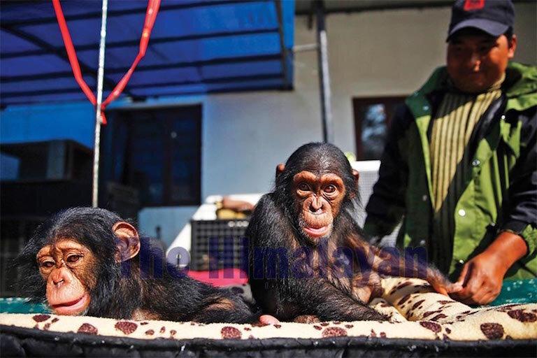 Chimpanzee-smuggling-1.jpg
