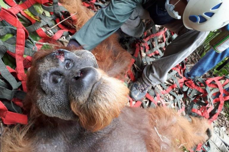 orangutan injured world ape fund.png