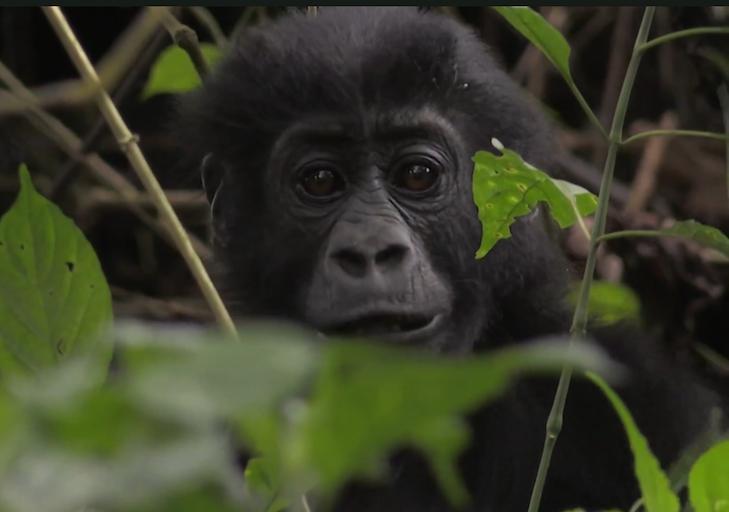 wild gorilla world ape fund.png