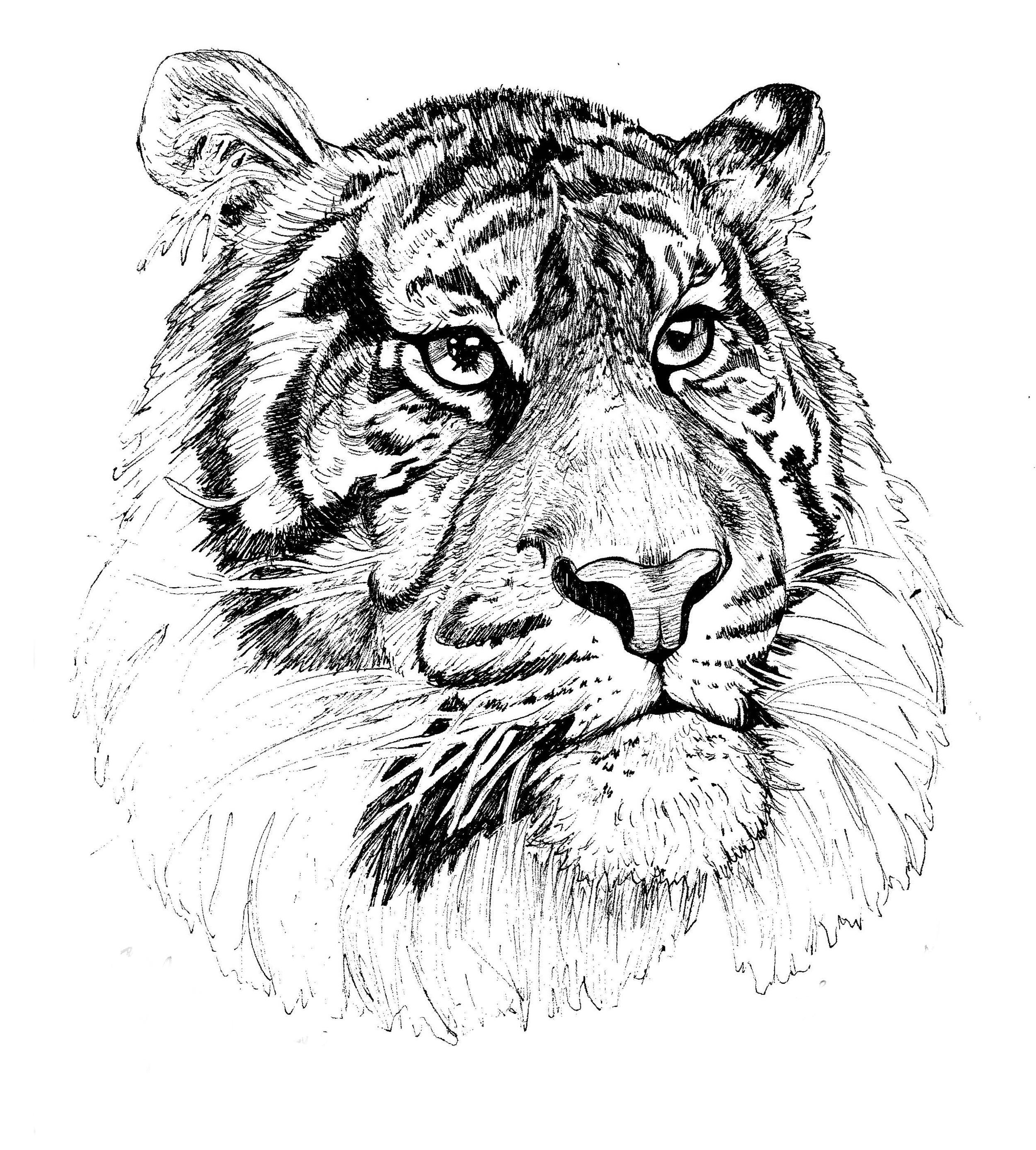 """""""Tiger Portrait""""  Pen on Paper"""
