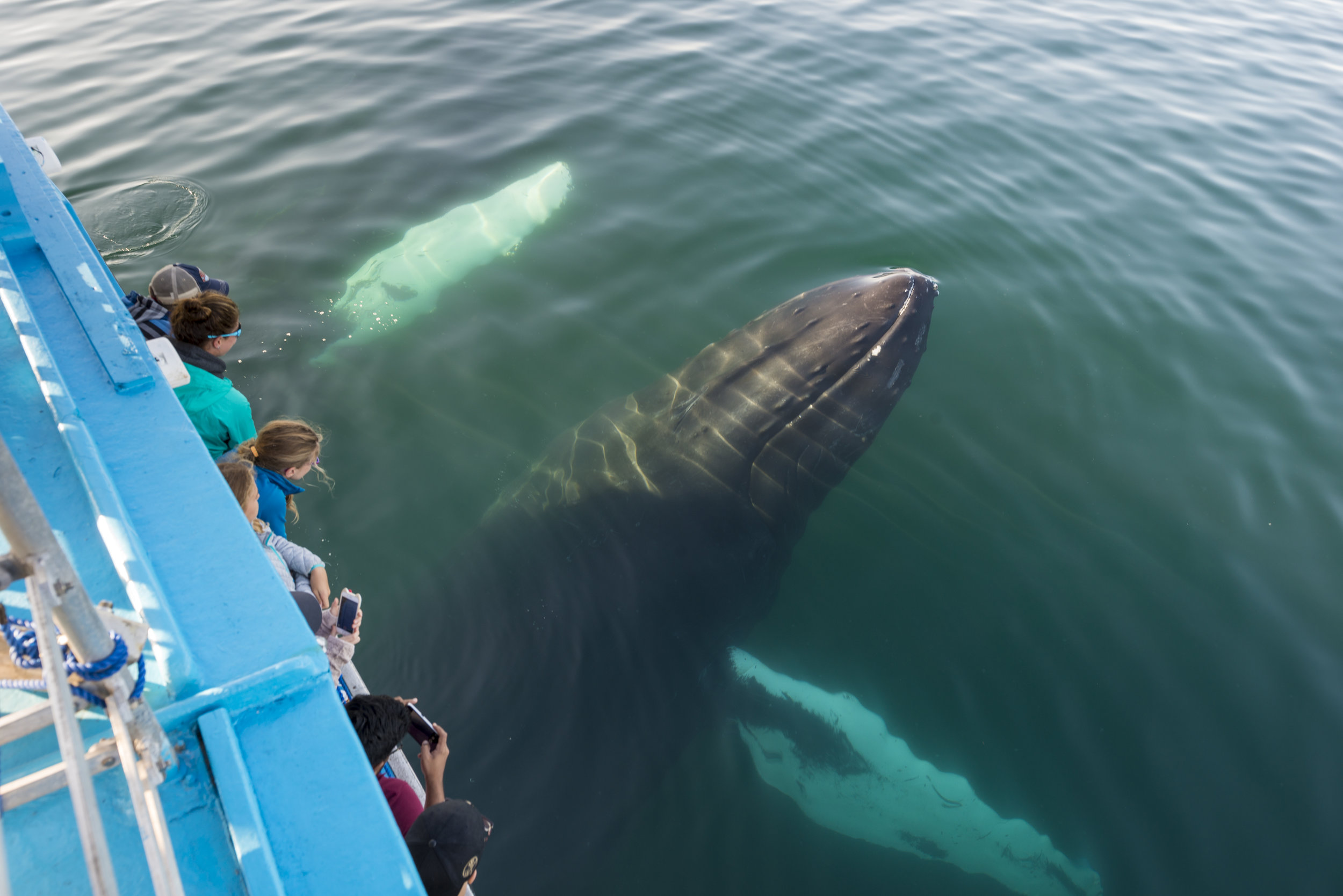 2 Humpback whales swim out from under the boat of the Chad Sisters Vessel