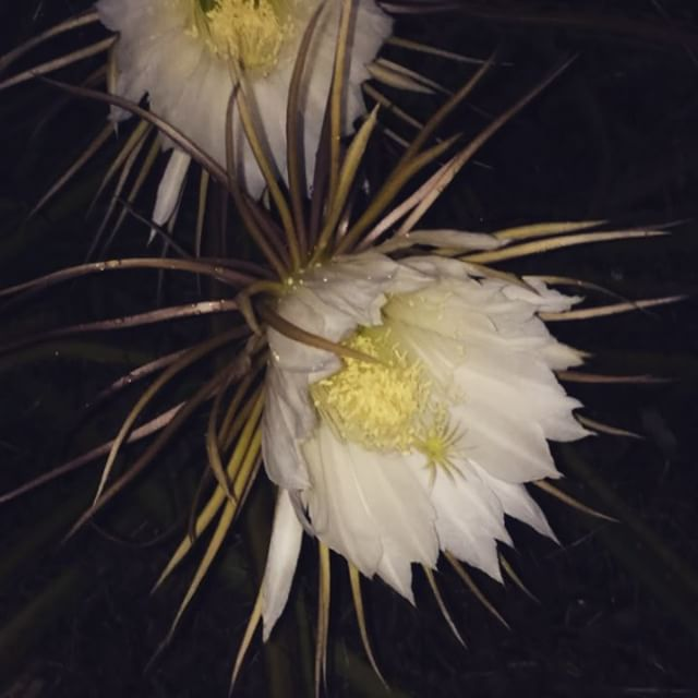 My parents have several varieties of Night Blooming Cereus - this one is a cactus variety that climbs up the palms out front. It's putting on quite a show tonight, with three to four dozen blooms open right now. 🌒🌕🌘 #cereus #nightblooming #nocturnalanimals #floridagarden #nightbloomingcereus