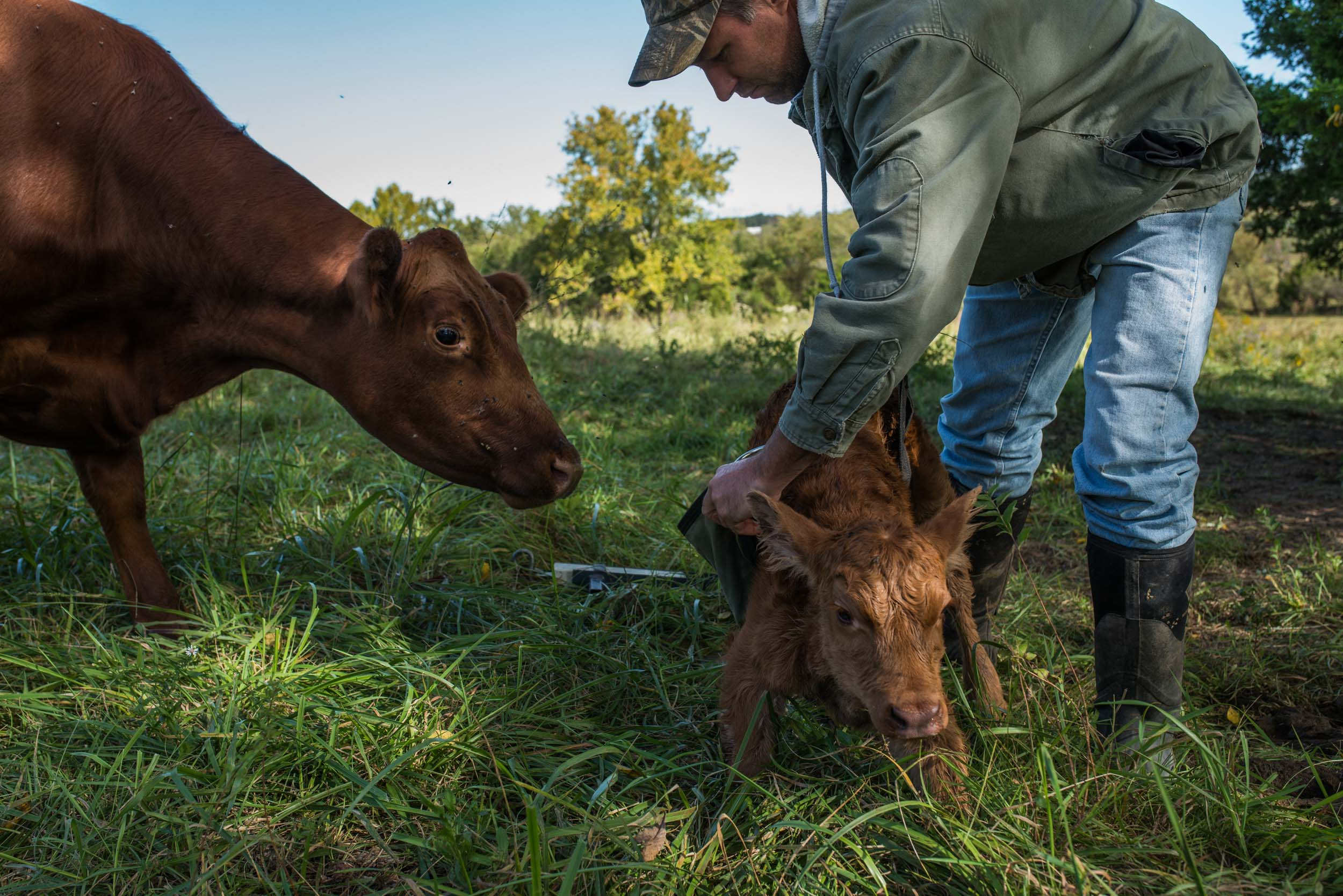 Nathan weighs and tags a heifer that was born an hour before. Cattle on the Mast farm are artificially inseminated and timed to give birth in early autumn.