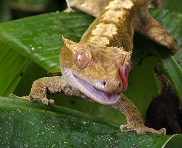 The skin of geckos is self-cleaning