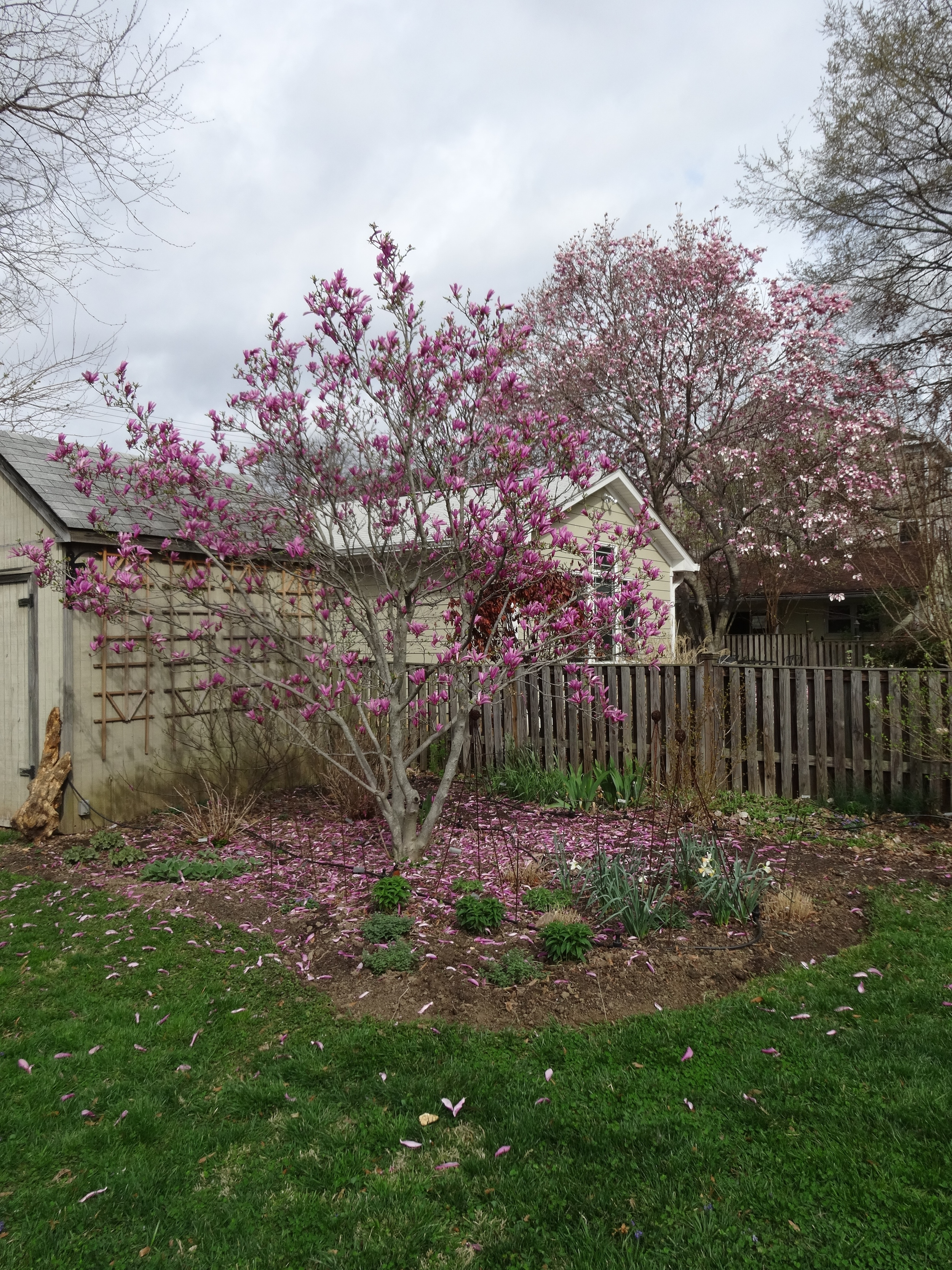 One of the Magnolia's last days in bloom--love the pink mulch effect