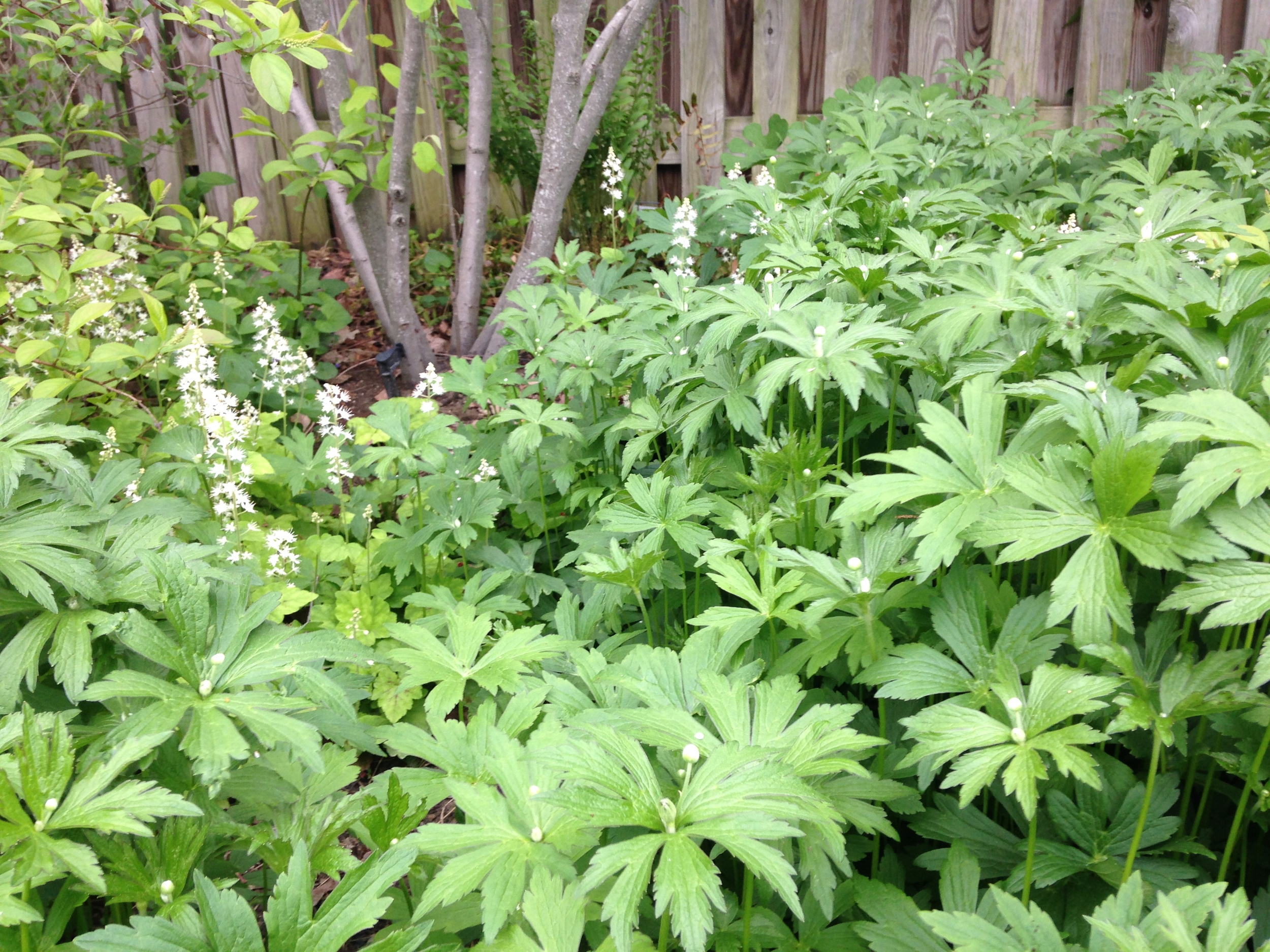 Tiarella  (foamflower) peeks above native  Anemone , which is taking over.