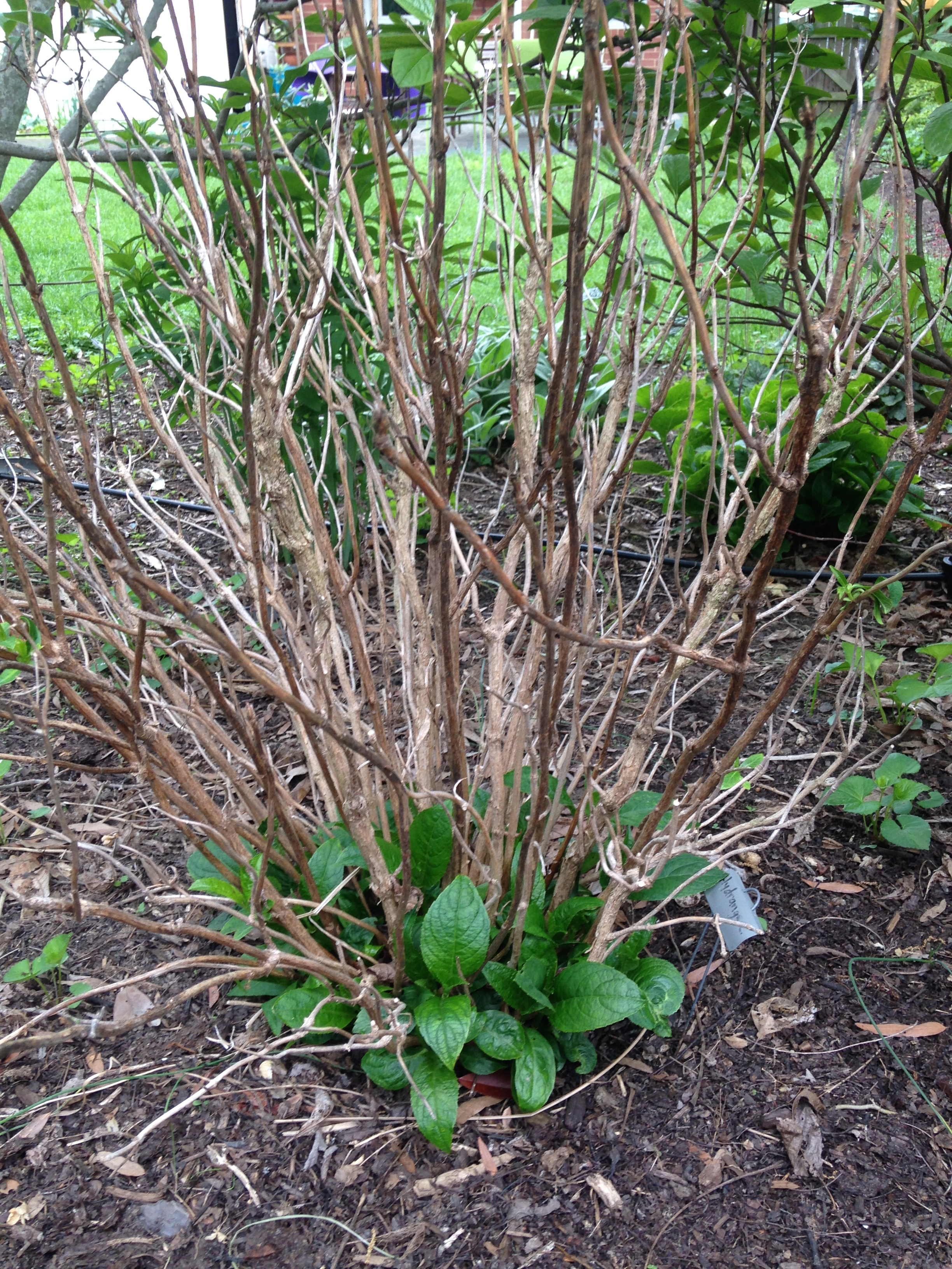 This specimen--a lace cap variety--suffered the most. If I don't see more new growth in the next week, I am afraid I will have to cut back all of the old wood and start fresh. It has never bloomed prolifically, so maybe this will help.