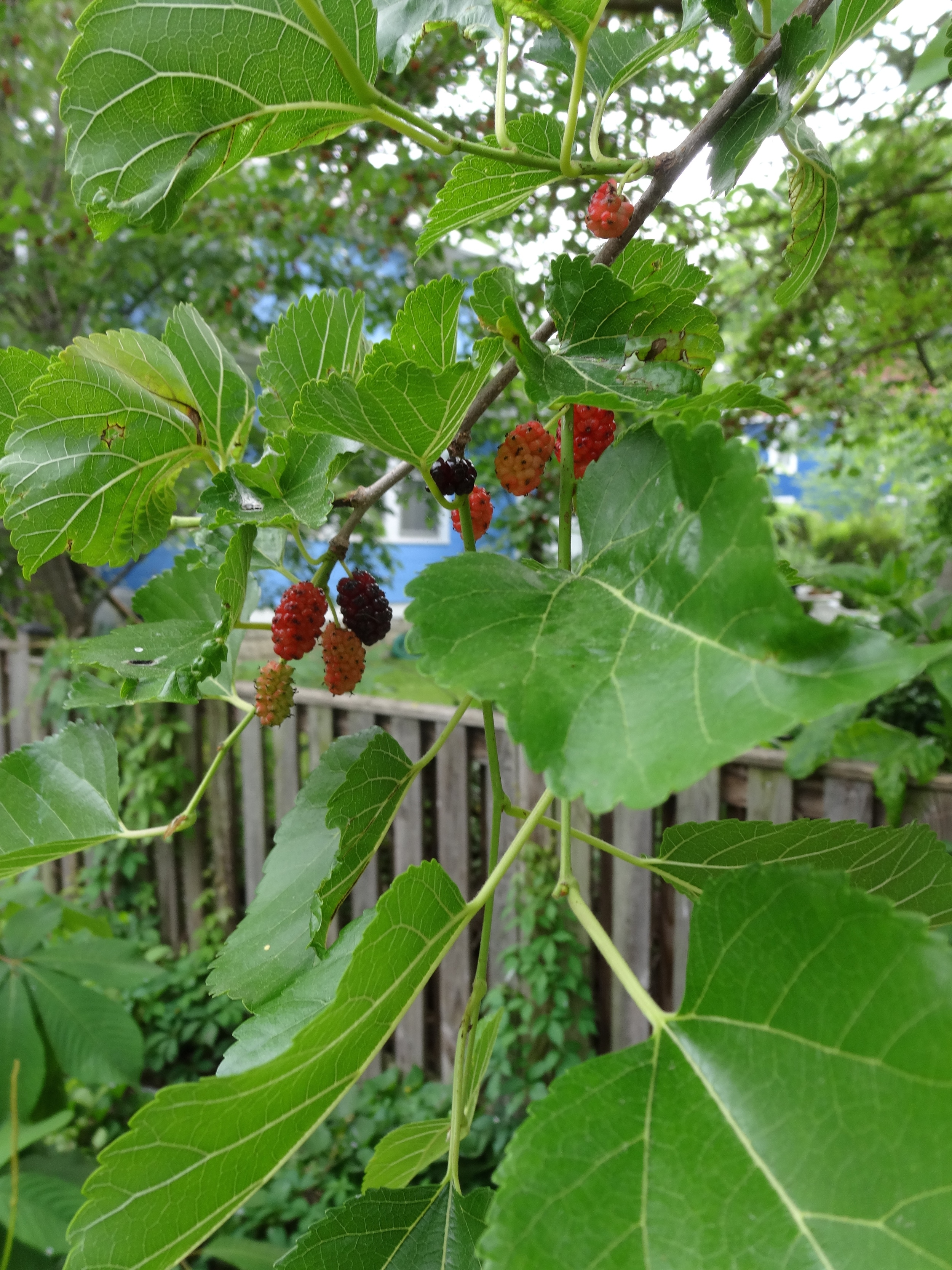 I would gladly help the animals eat the mulberries if I could get to them.