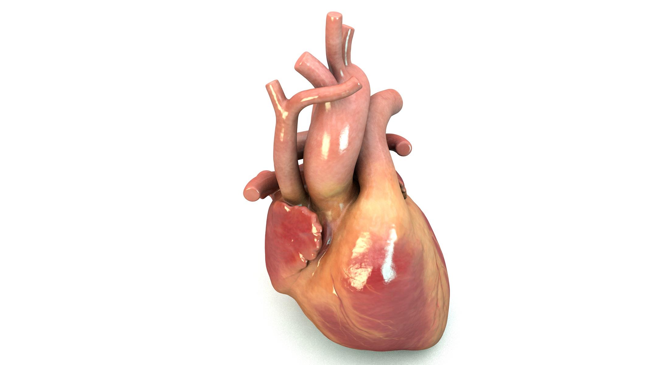HeartModel072618-ActionShot.jpg