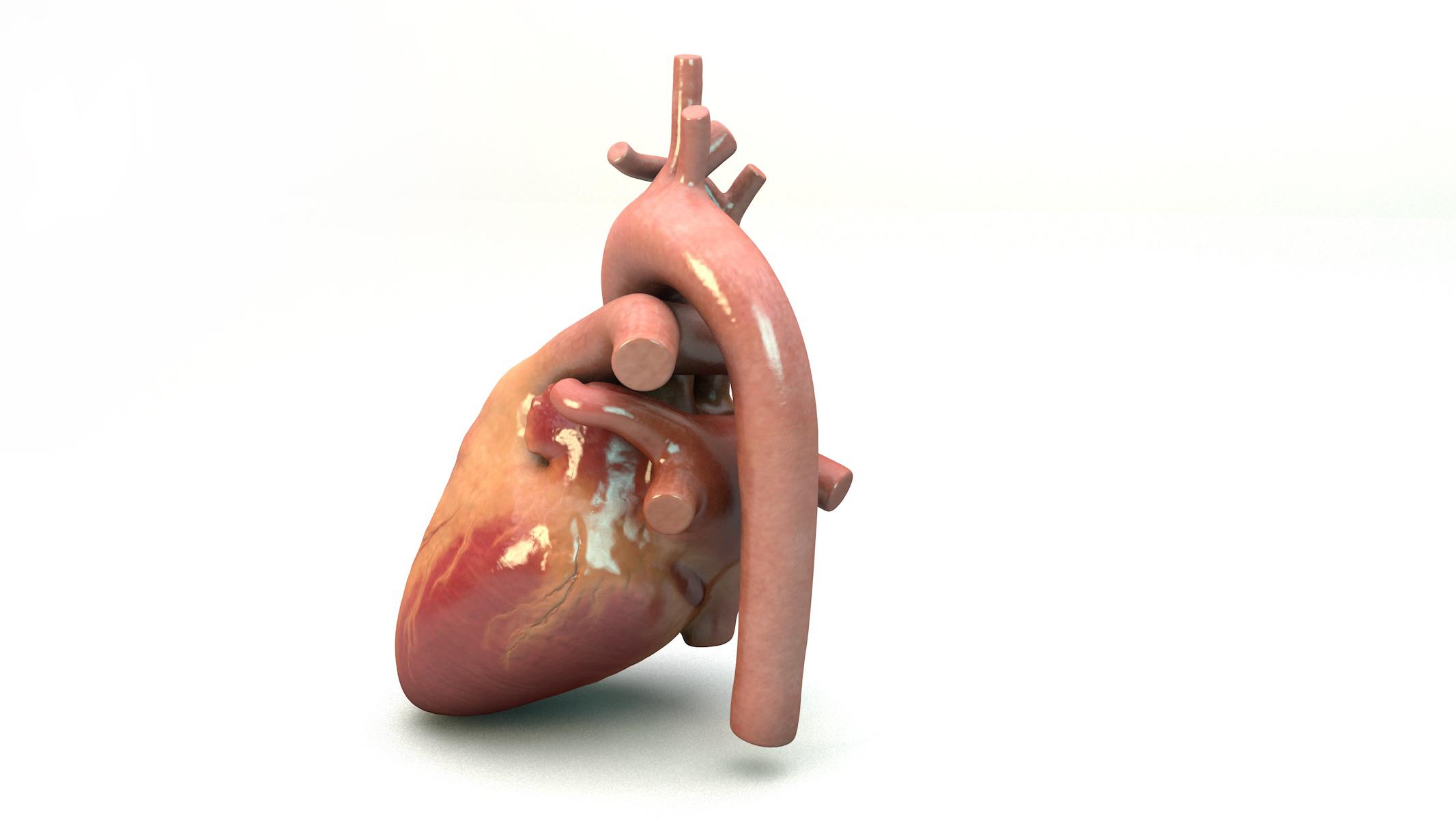 HeartModel072618-Posterior.jpg