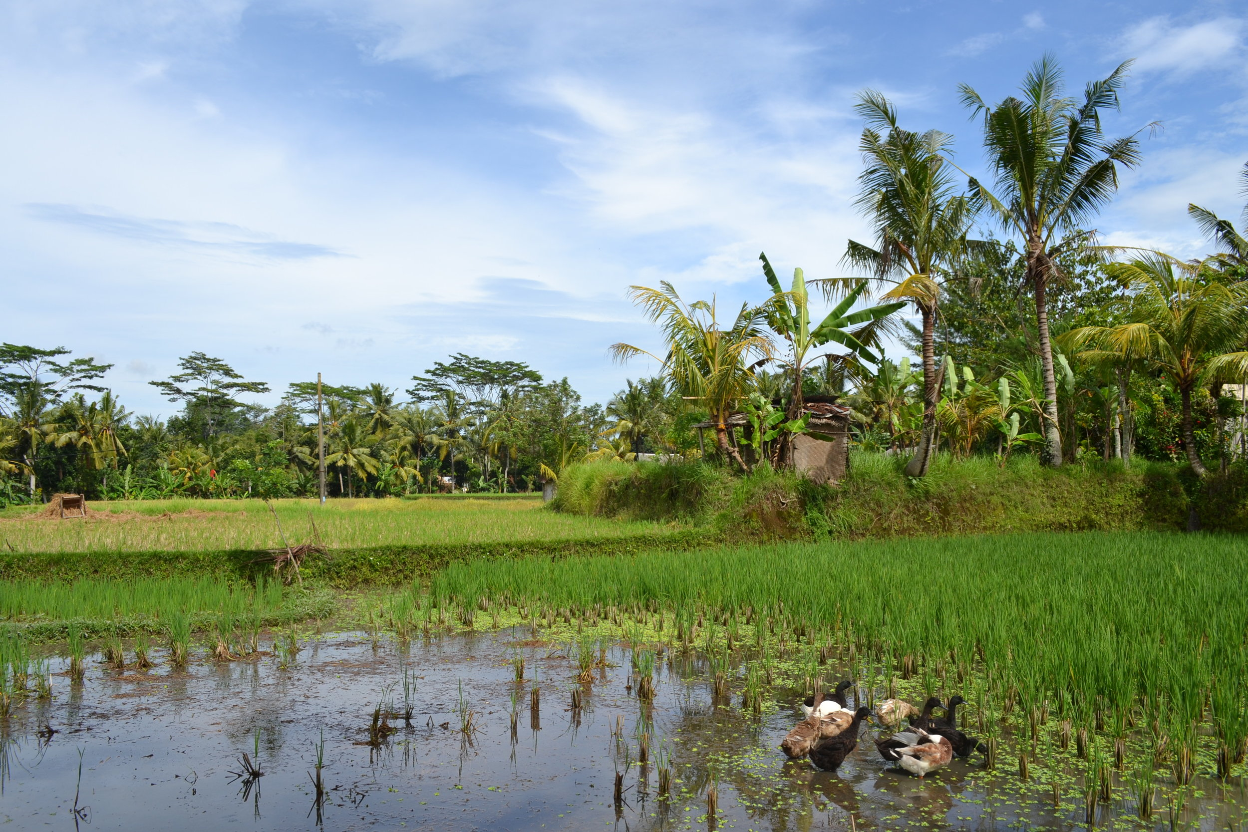2 Ducks Payangan rice fields.jpg
