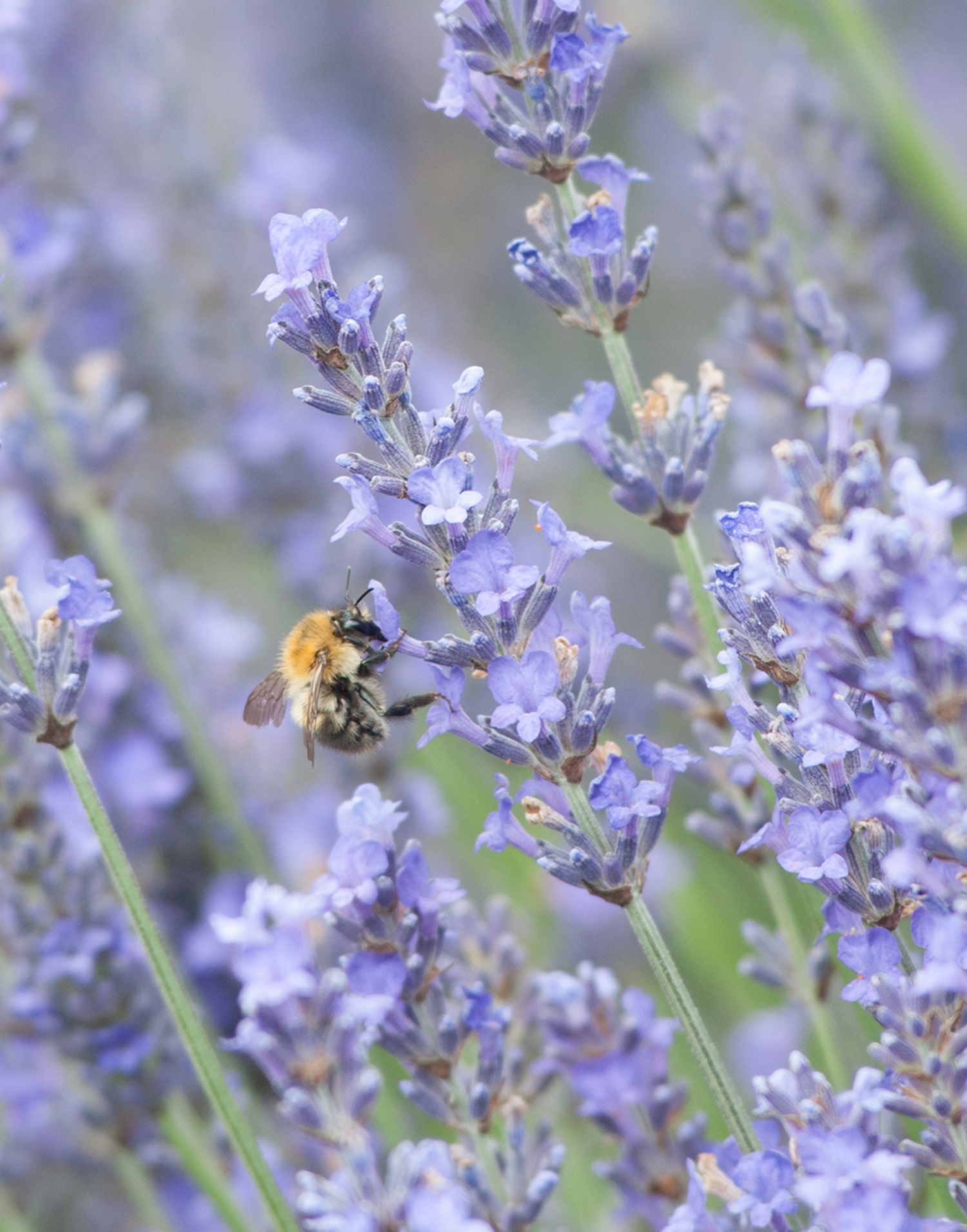 Bee in Lavender by Katie Vandyck at 100Designs