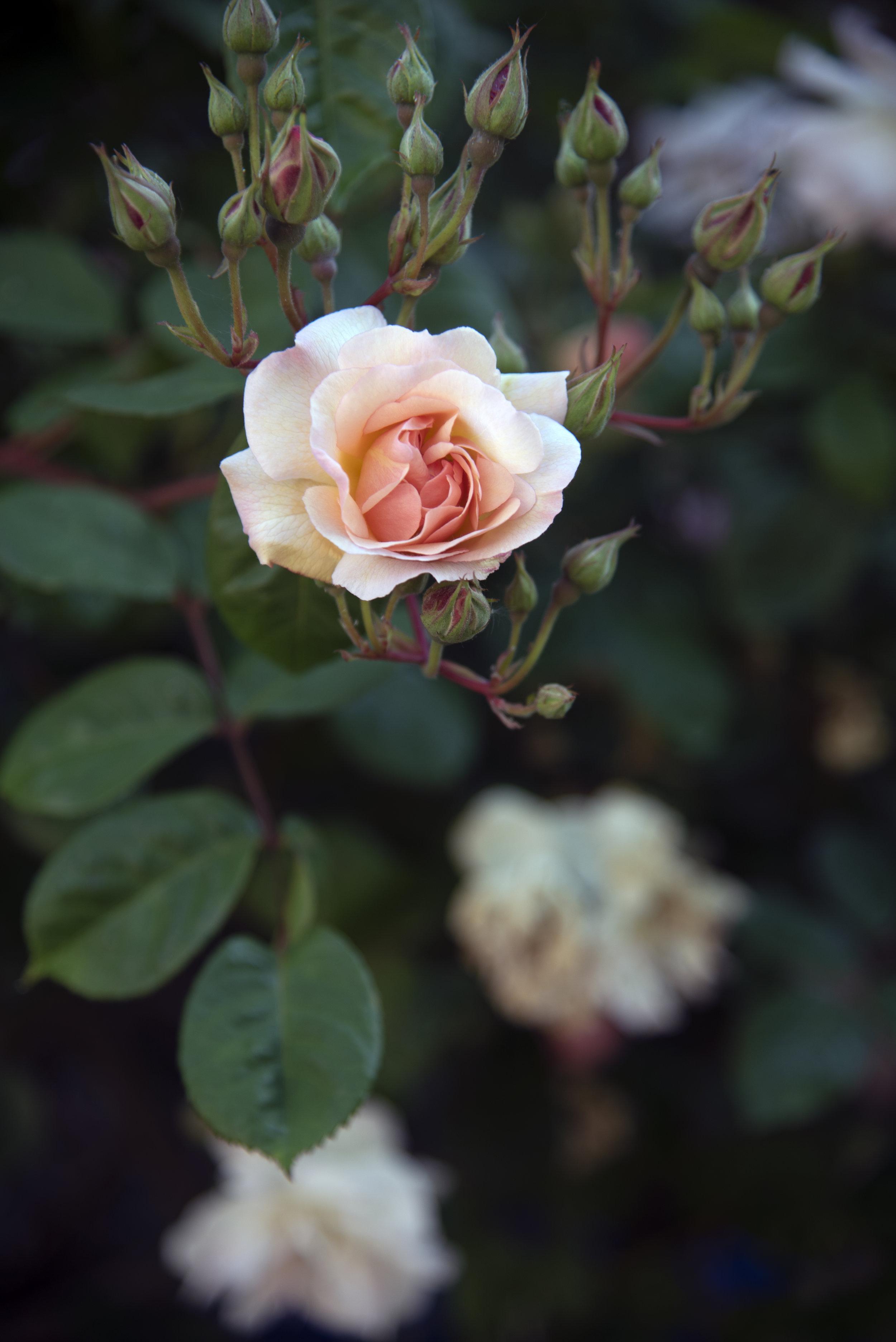 Pale Peach Rose.jpg