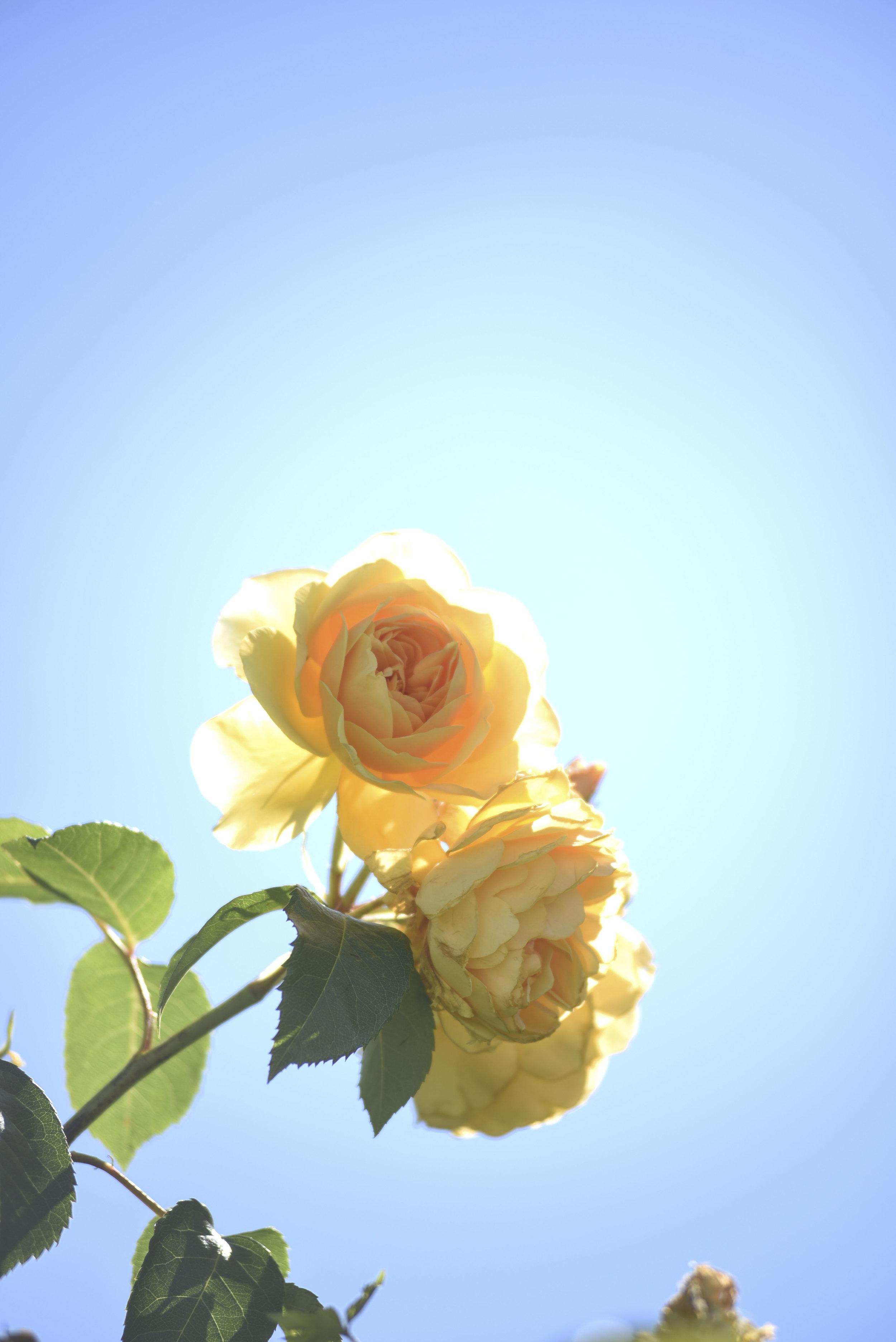 Yellow Rose for instagram.jpg