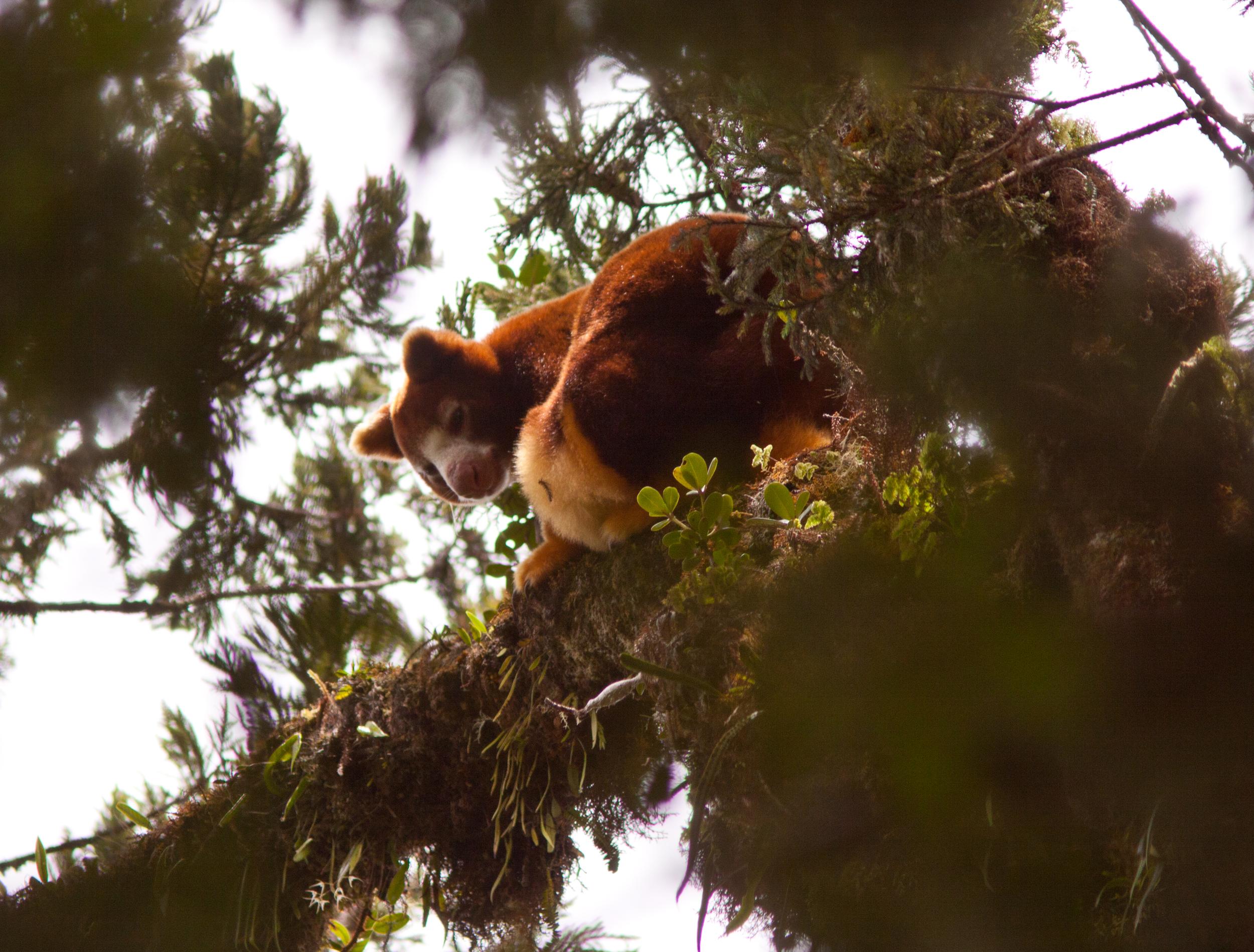 huon tree roo.jpg