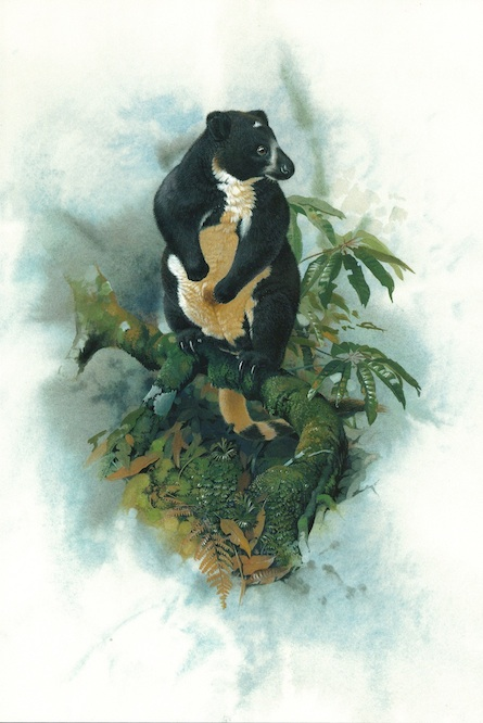 The Dingiso Tree kangaroo (Dendrolagus mbaiso) of west New Guinea (Peter Schouten)