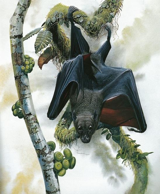 The critically endangered Bulmer's fruit bat (Aproteles bulmerae) (Peter Schouten)