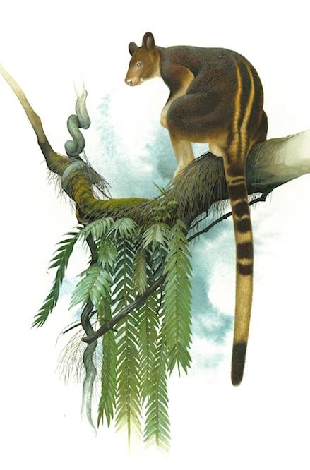 Goodfellow's Tree Kangaroo (Dendrolagus goodfellowi) of south-eastern PNG (Peter Schouten)