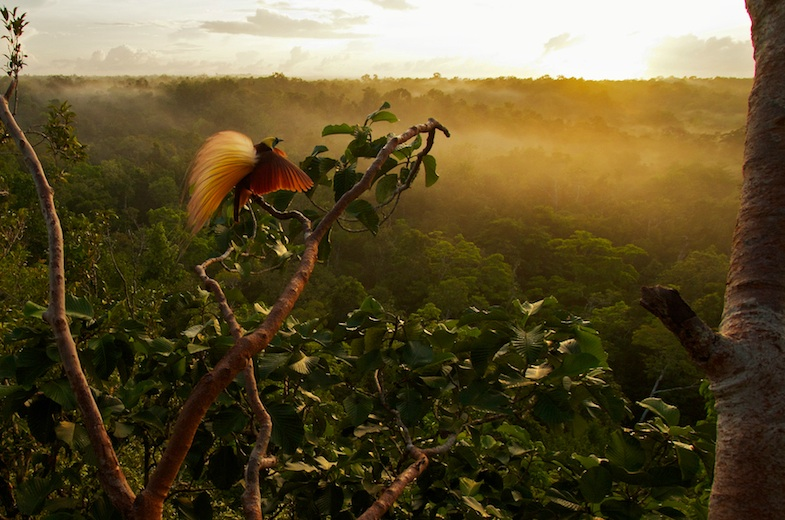 Greater Bird-of-Paradise at sunrise, Aru Islands, Indonesia