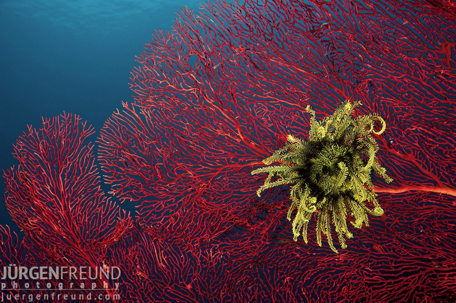 Gorgonian fan coral with crinoid feather sea star, Coral Triangle (Jurgen Freund)