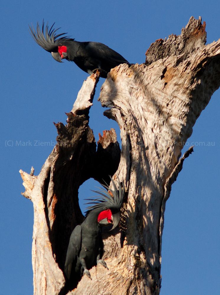 Palm Cockatoos at nest (Probosciger aterrimus) (Mark Ziembicki)