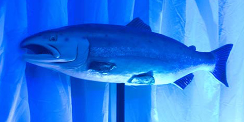 Large Fish 1 - Live shot with blue uplighting