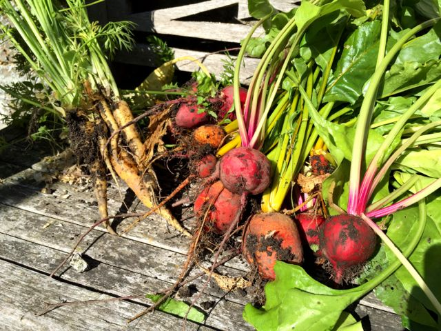 Beetroot harvest image.jpg