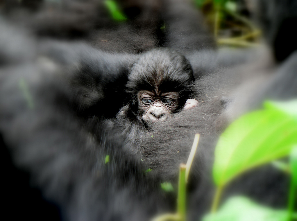 Baby Ndakasi  (Image courtesy of Virunga National Park)