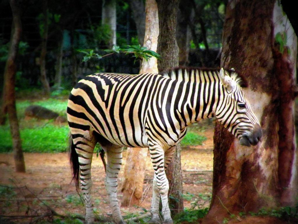 ©Gnanaraj Sadacharam - Zebra, India