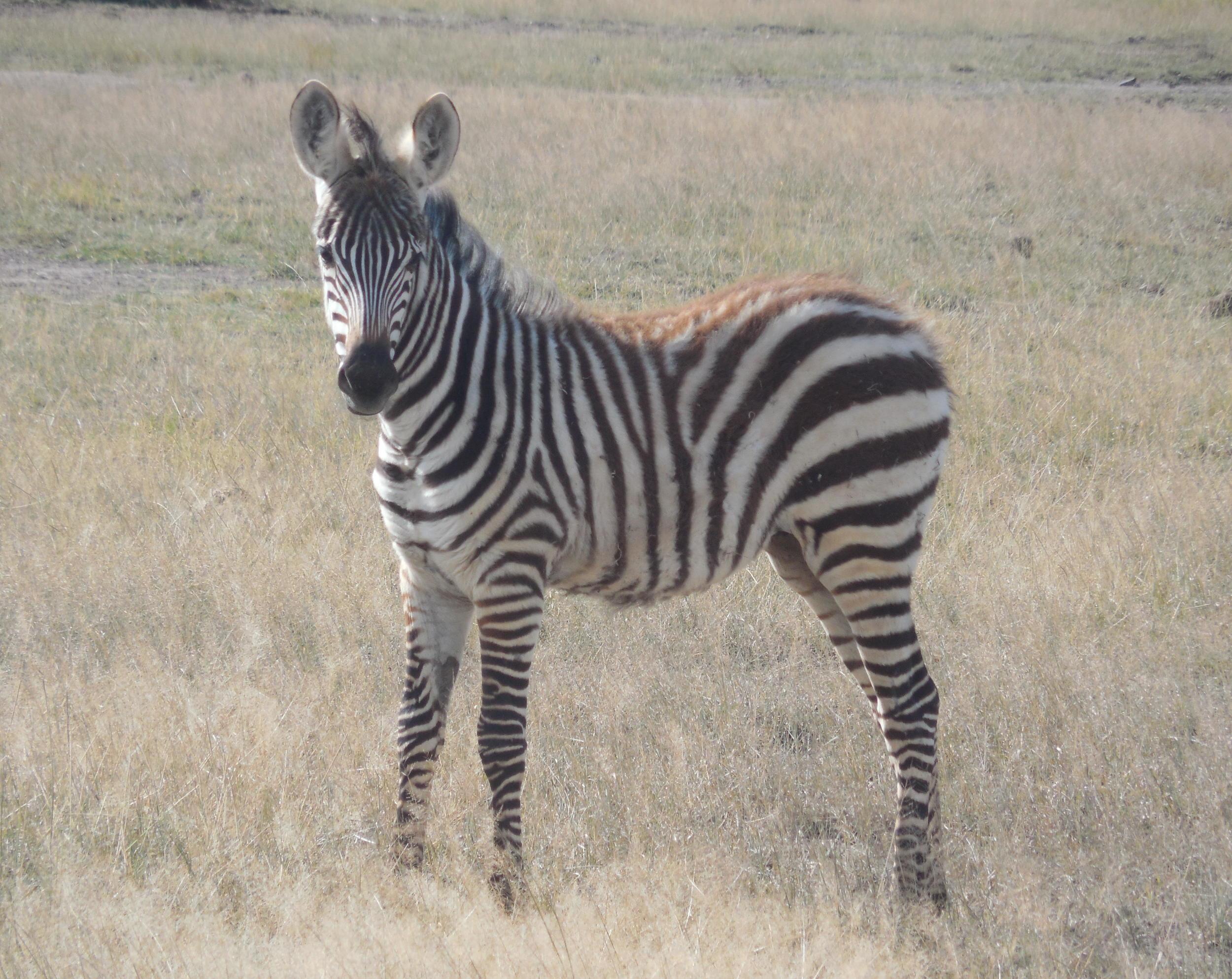 Cute Little Zebra Kenya 2014 © Flyga Twiga LLC