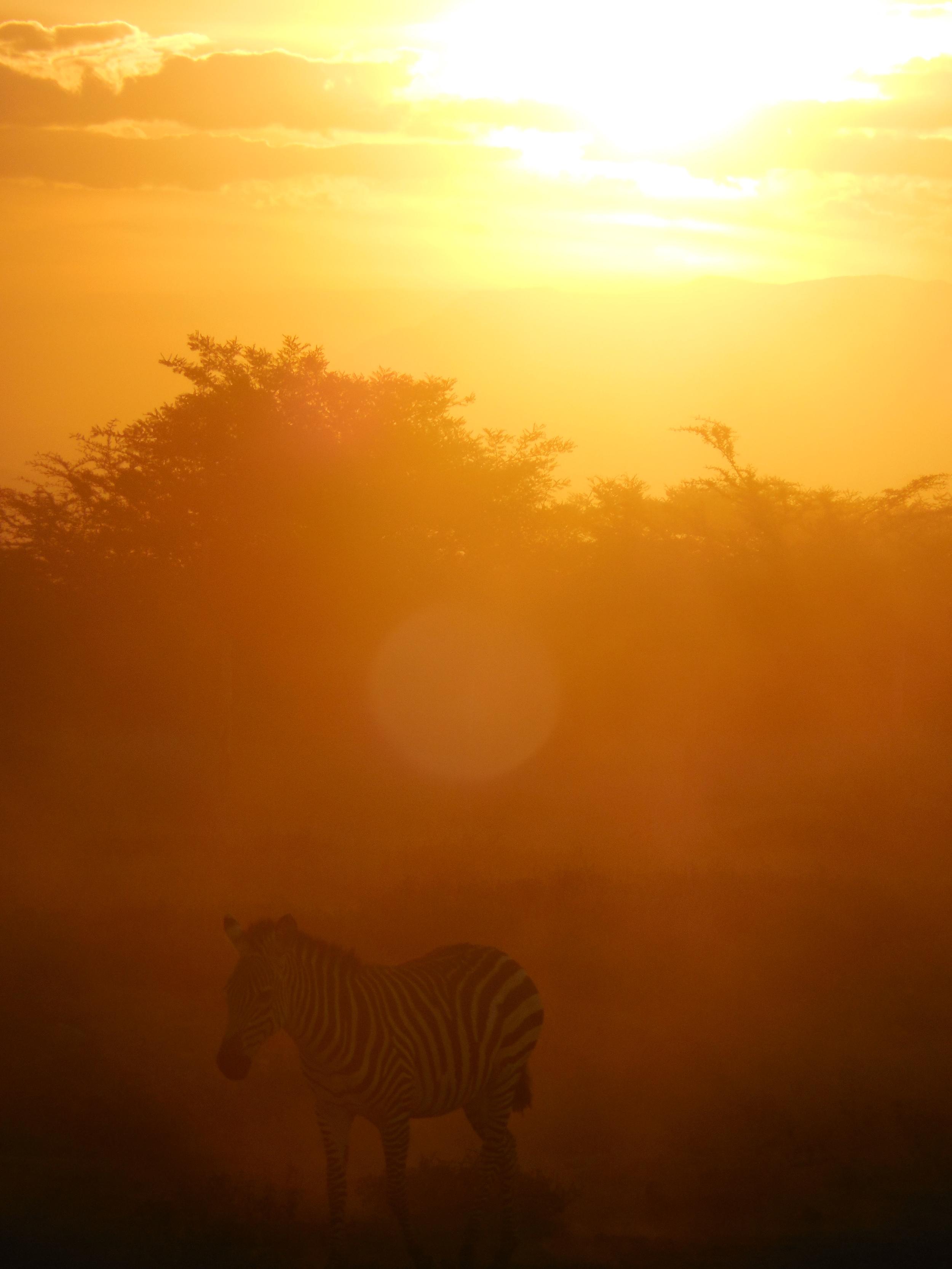 Zebra at Sunset, Amboseli National Park, Kenya 2014 © Flyga Twiga LLC     Member ID: 14-3-1090-5CH