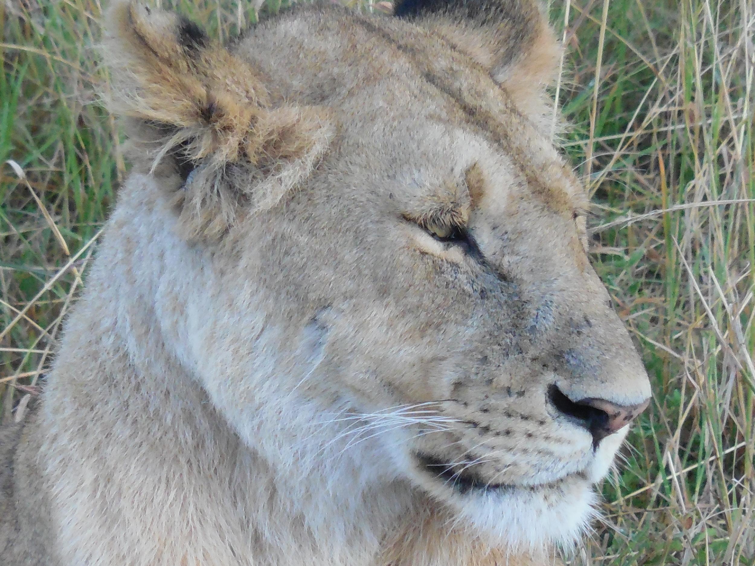 Lioness, Maasai Mara National Reserve, Kenya © Flyga Twiga LLC