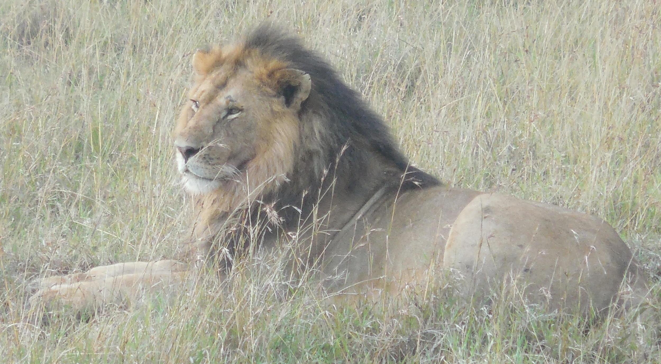 Lion at Masai Mara in Kenya 2014 © Flyga Twiga LLC