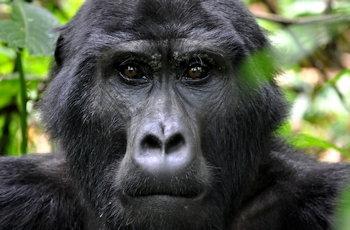 UgandaGorilla1_FlygaTwigaLLC.jpg