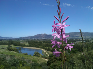 Flowers of the Western Cape © Flyga Twiga LLC