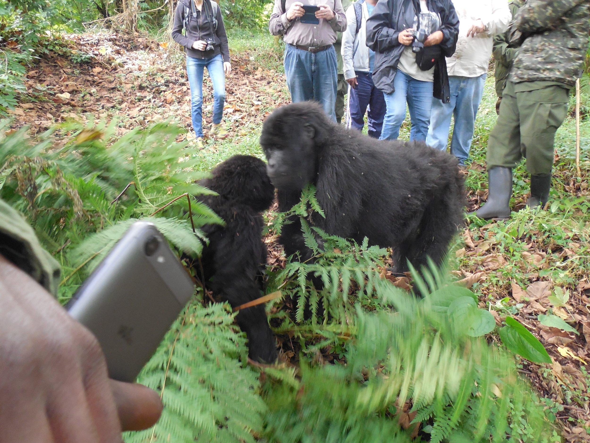 Close Up with Two Brother Gorillas Nyakagezi Group Mgahinga Gorilla NP © Flyga Twiga LLC