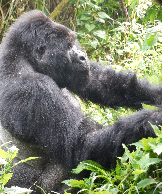 Alpha Male in Nyakagezi Group MGNP, Uganda © Flyga Twiga LLC