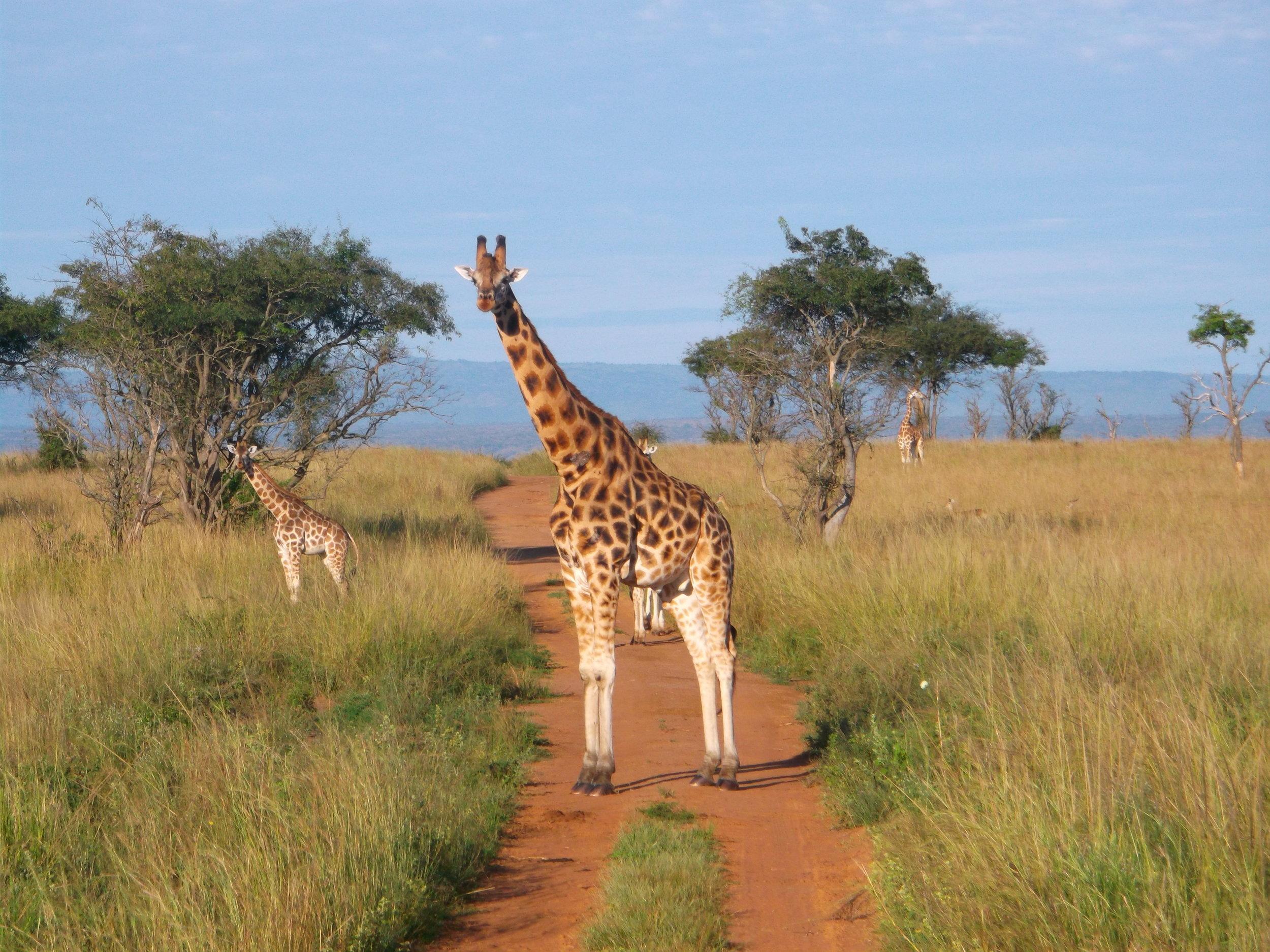 Giraffes, Queen Elizabeth National Park, Uganda ©Flyga Twiga LLC
